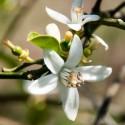 Huile BIO parfumée à la fleur d'oranger